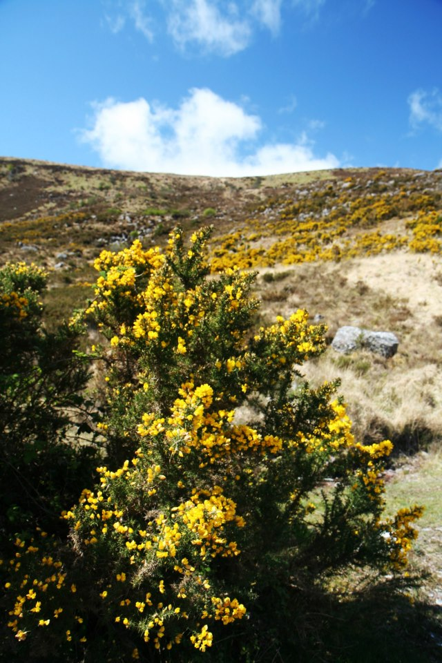 Deze typische gele struiken vind je door heel Ierland (Gaspeldoorn of Gorse)