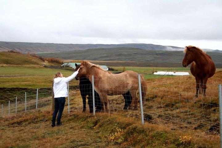 IJslandse paarden worden niet heel vaak geaaid…