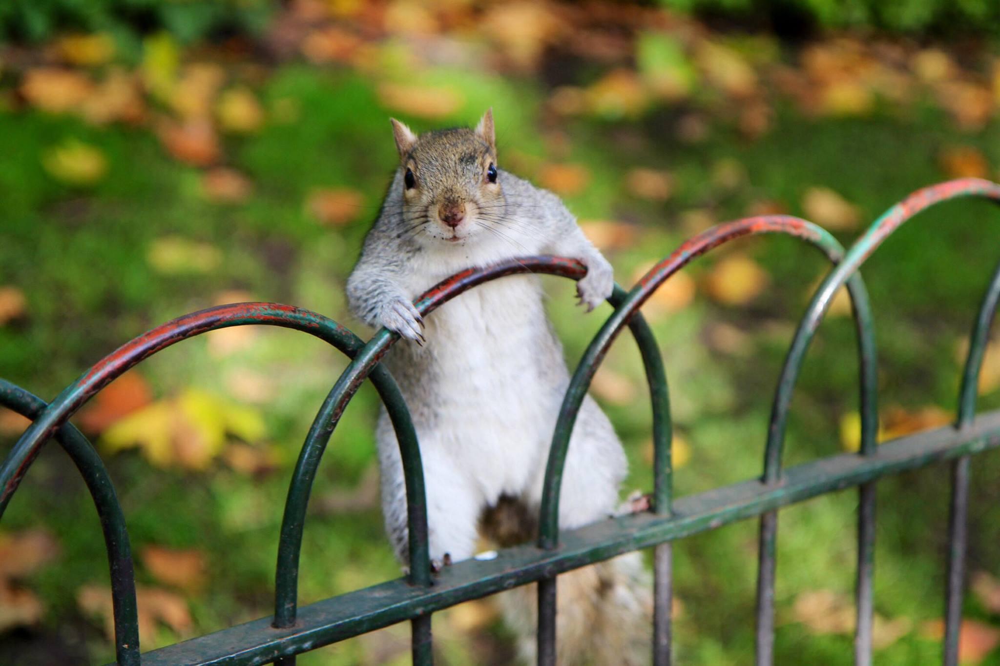 Een nieuwsgierige eekhoorn in St James Park bij Buckingham Palace