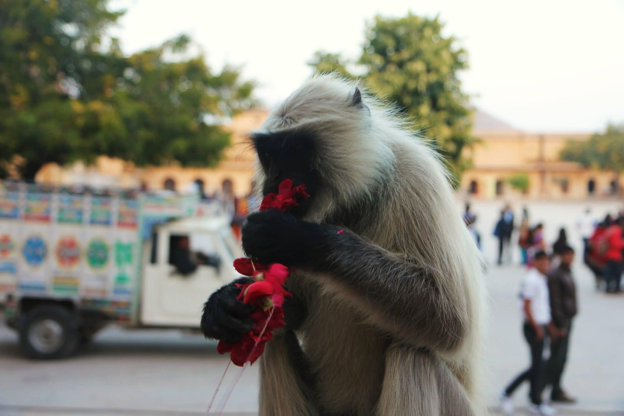 Een bloemenetend aapje bij het Rai Palace, in de buurt van Jaipur