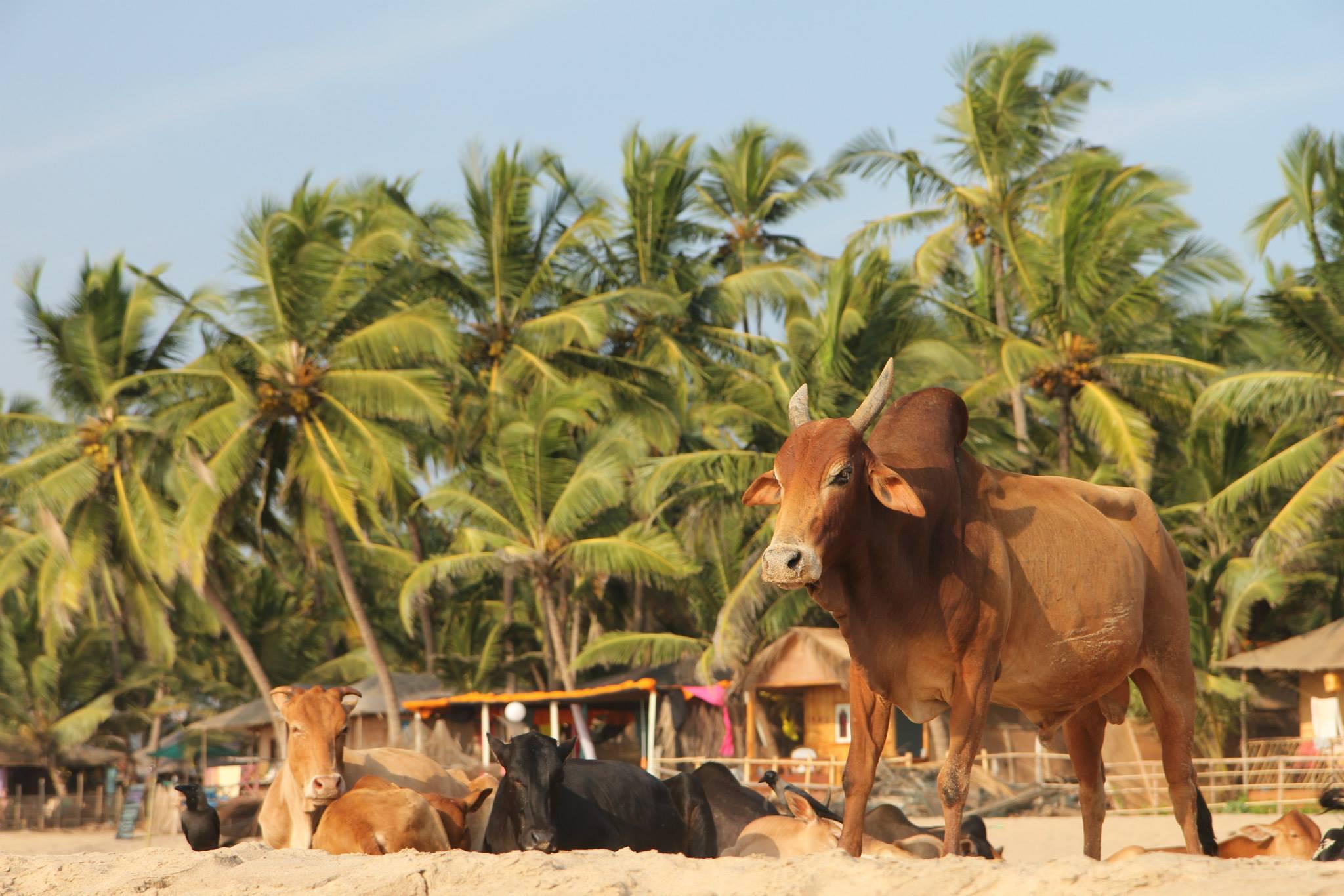 Een koe op het strand in Agonda