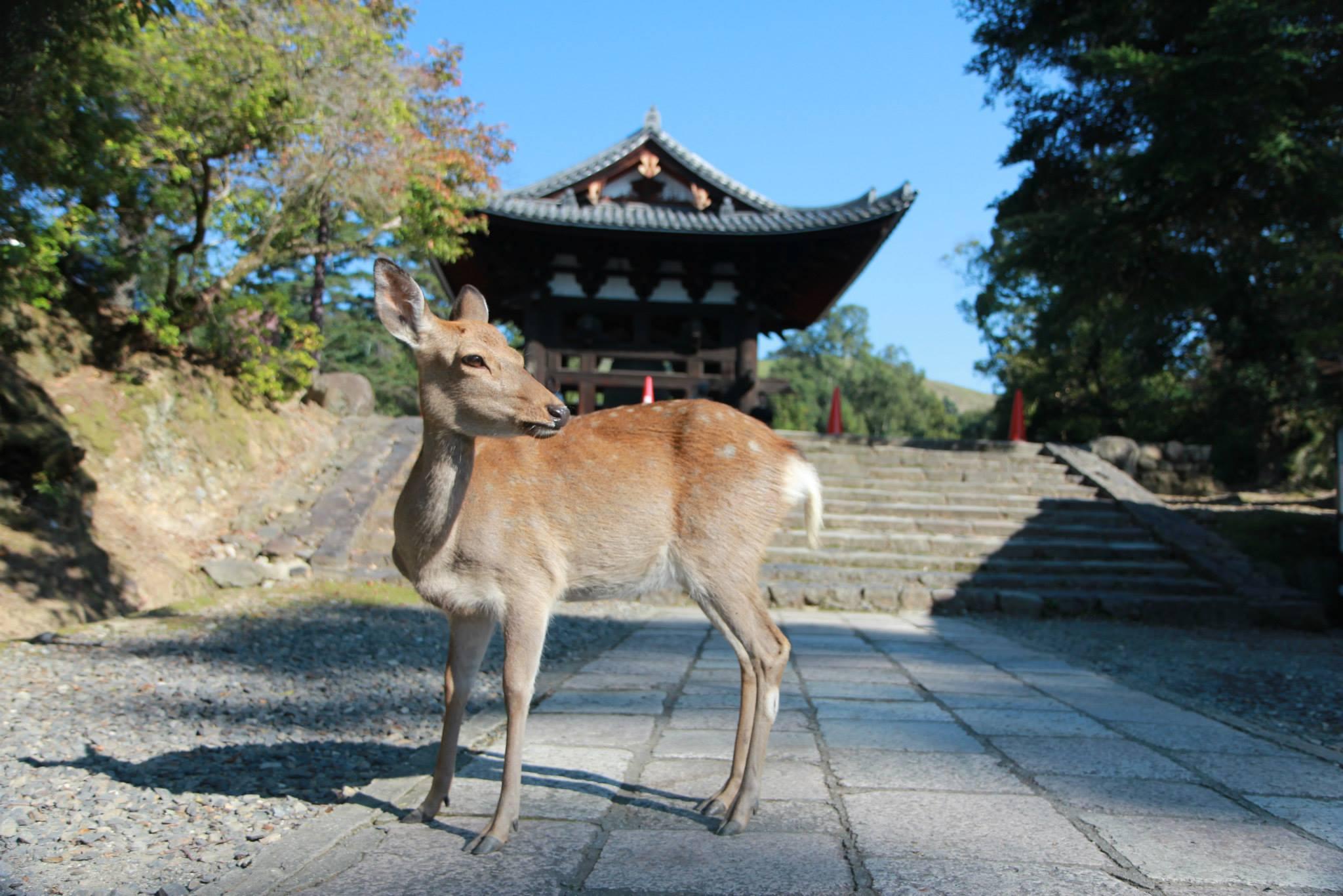 Een hertje bij een tempel in Nara, Japan
